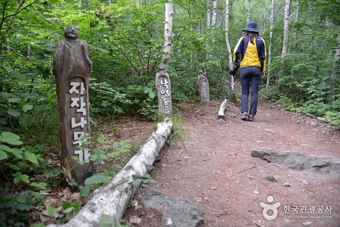 麟蹄院垈里白樺林(인제 원대리 자작나무 숲)7