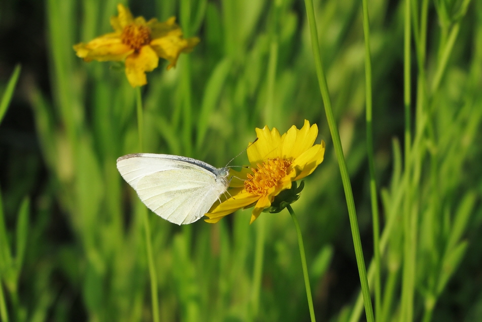 아침에 강변을 산책하다 만난 금계국과 나비