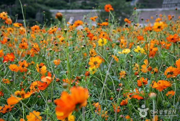 수수밭을 지나니 가을바람에 흔듥리는 주황색 꽃무리