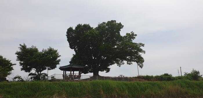 구미 낙성리 느티나무