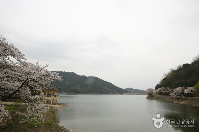 금오지 정자와 벚꽃