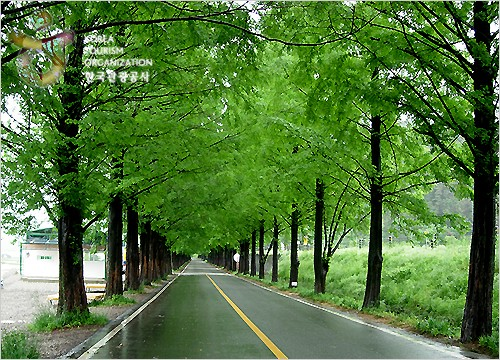 Metasequoia-lined Ro...