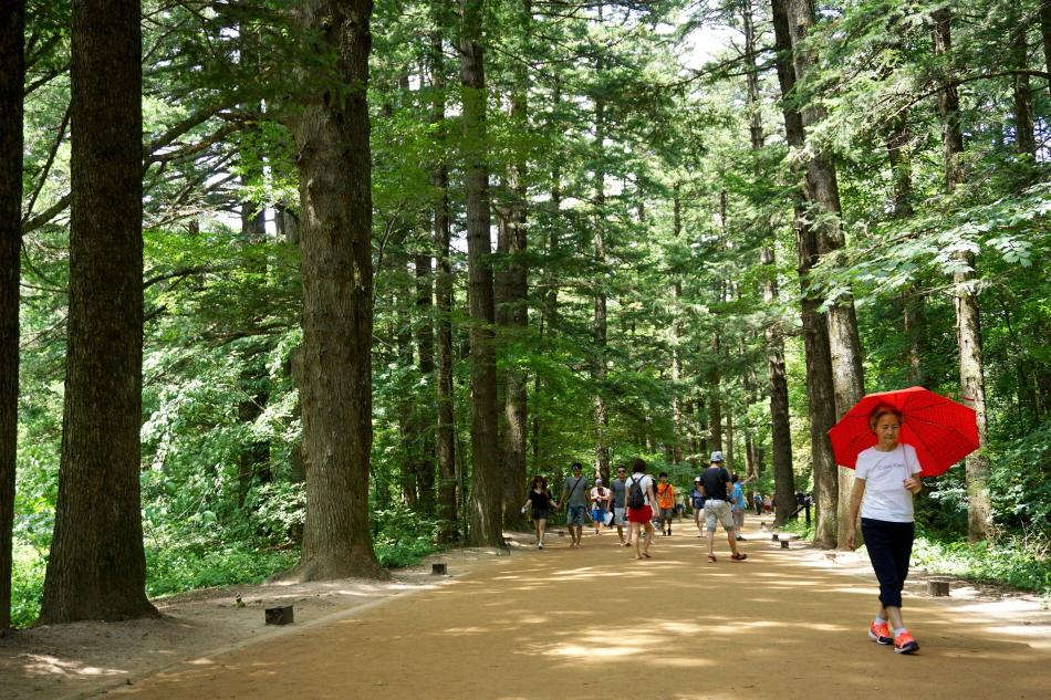아름드리 전나무가 1km쯤 늘어선 월정사 천년의 숲길