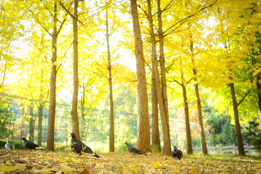 원적산공원 은행나무숲