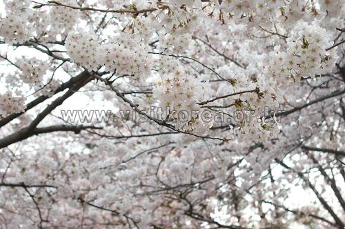 錦山川桜祭り(금산천 벚꽃축제)