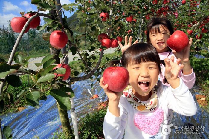 아이들이 따기에도 알맞게 낮은 사과 나무
