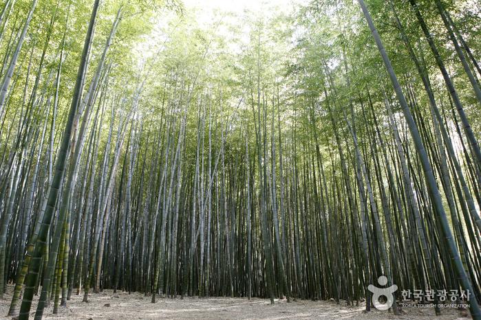 대나무 울창한 아홉산 숲으로