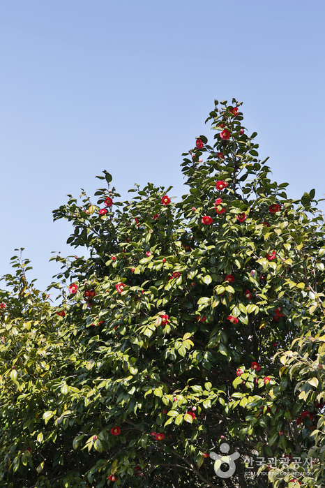 나무에 핀 동백꽃을 만지고 있는 여자