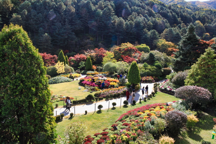 Chrysanthemum Exhibition of The Garden of Morning Calm (아침고요수목원 국화전시회)