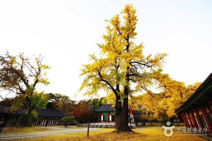 옛집 담긴 은행나무 마을서 '황금빛 향연'