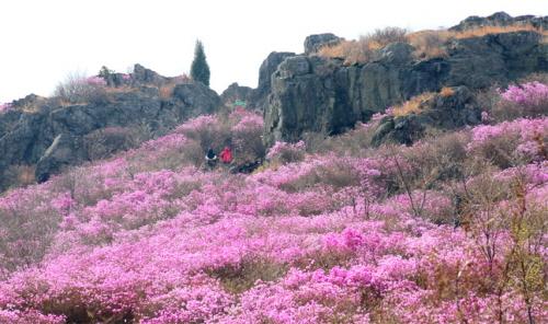 Фестиваль азалий на горе Ёнчхвисан (영취산 진달래축제)