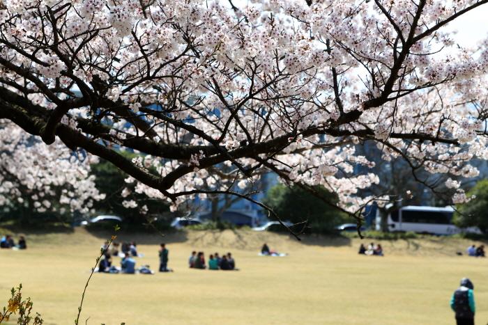 벚꽃과 유채꽃이 서로 뽐내는 제주의 봄날