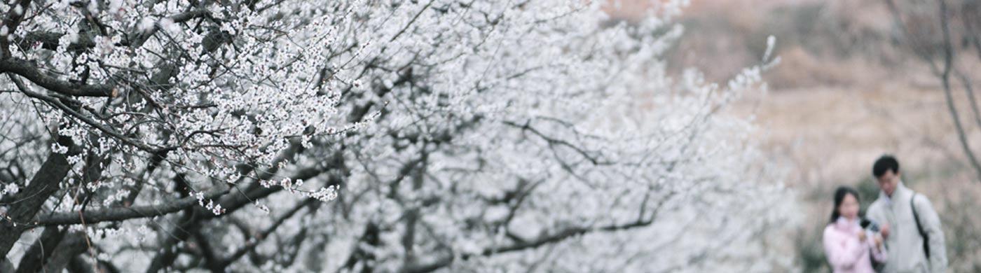 매화꽃 터널 지나 두륜산 케이블카 타며 봄놀이 간다   사진