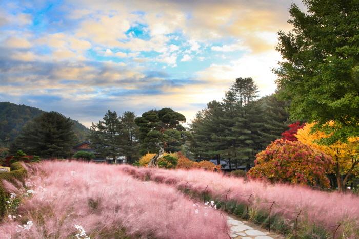 アチムゴヨ樹木園菊展示会(아침고요수목원 국화전시회)