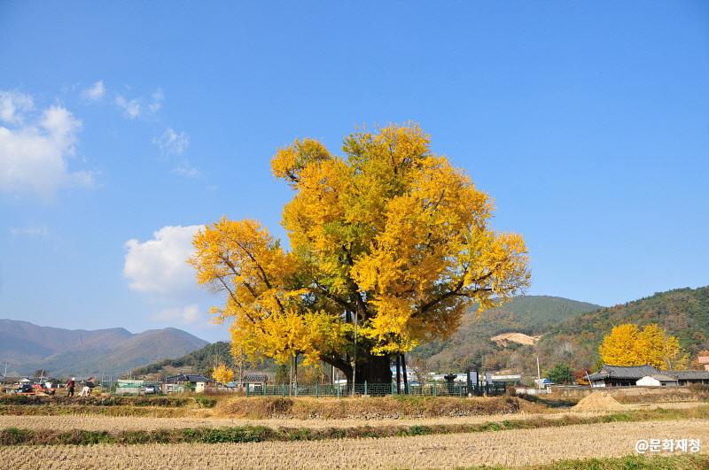 울주 구량리 은행나무