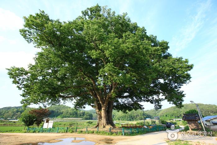 안동 사신리 느티나무