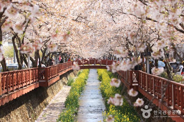 Kirschblütenallee Jinhae (벚꽃터널 진해 벚꽃길)