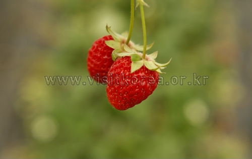 Nonsan Strawberry Festival (논산 딸기축제)