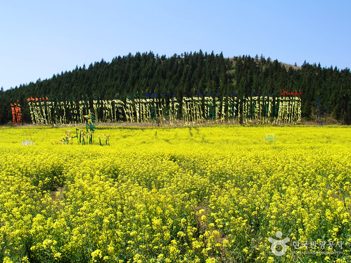 Seogwipo Rape Flower...