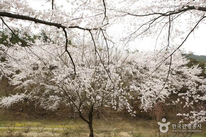 산책로변의 벚나무