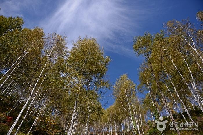 麟蹄院垈里白樺林(인제 원대리 자작나무 숲)4