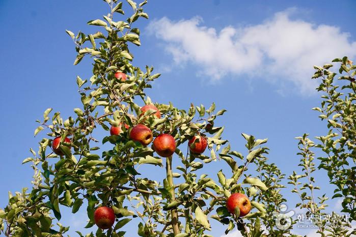 파란 하늘 아래 빨갛게 익은 사과들.