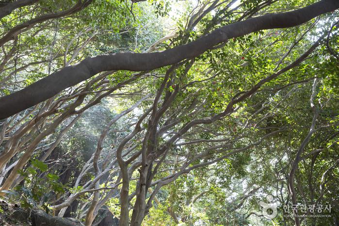 원시림처럼 울창한 동백나무 숲길