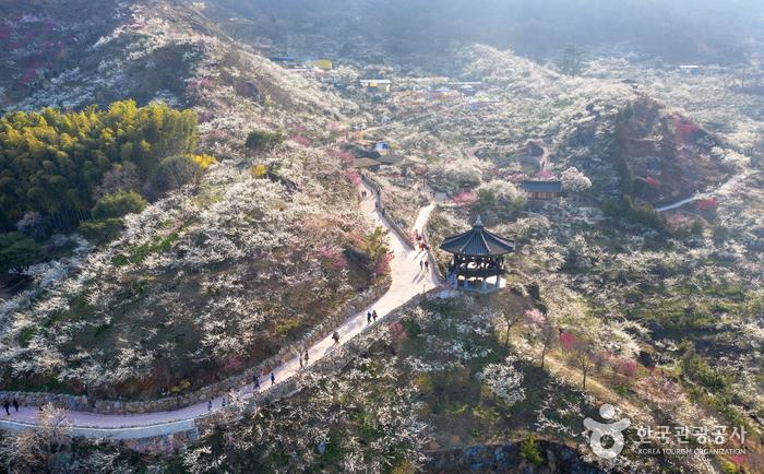光陽 梅花村(광양 매화마을)