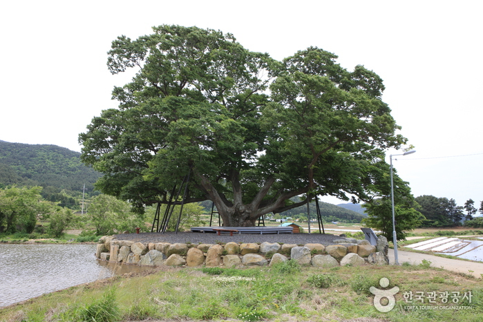 거제 명진리 느티나무