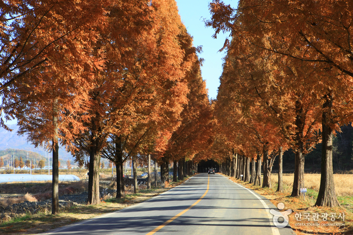 Metasequoia-lined Road