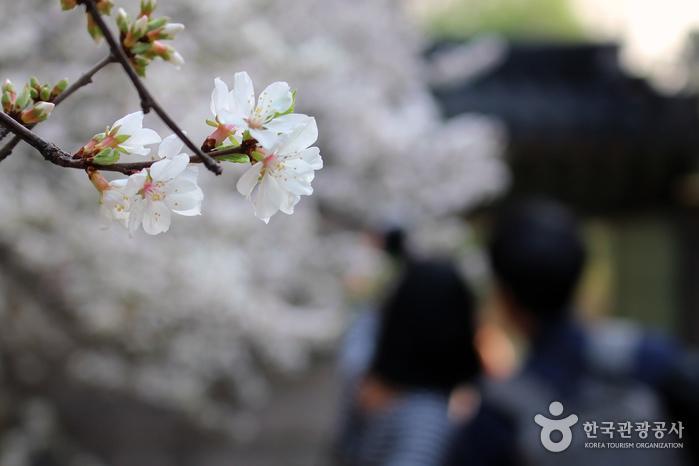 대조전 앵두꽃을 즐기는 연인들