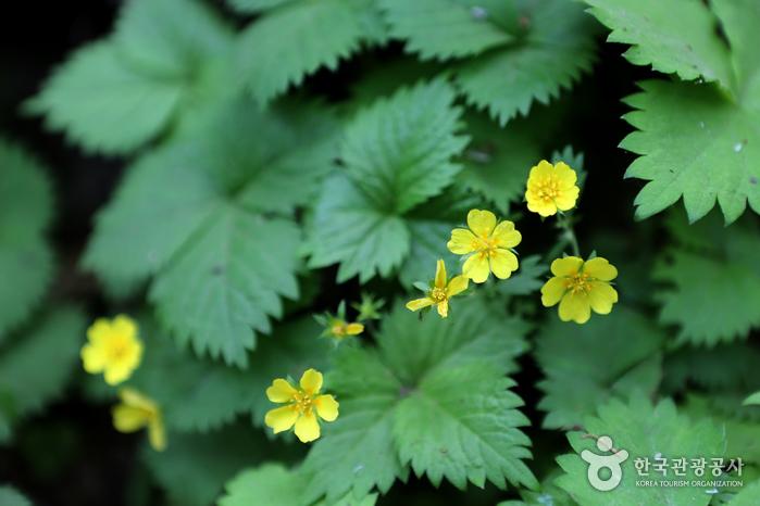 귀여운 얼굴의 세잎양지꽃