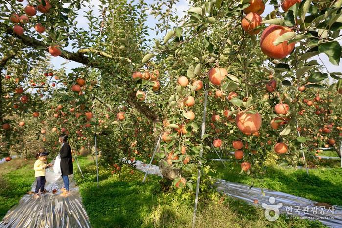 나무마다 사과가 주렁주렁 달렸다.