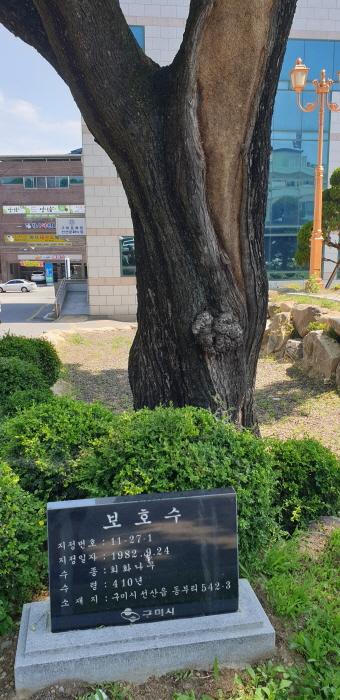 구미 동부리 회화나무