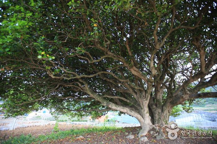 거제 외간리 동백나무