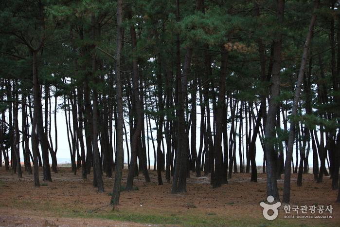 夢山浦海水浴場(몽산포해수욕장)