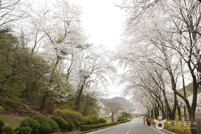 개나리와 어우러진 벚꽃