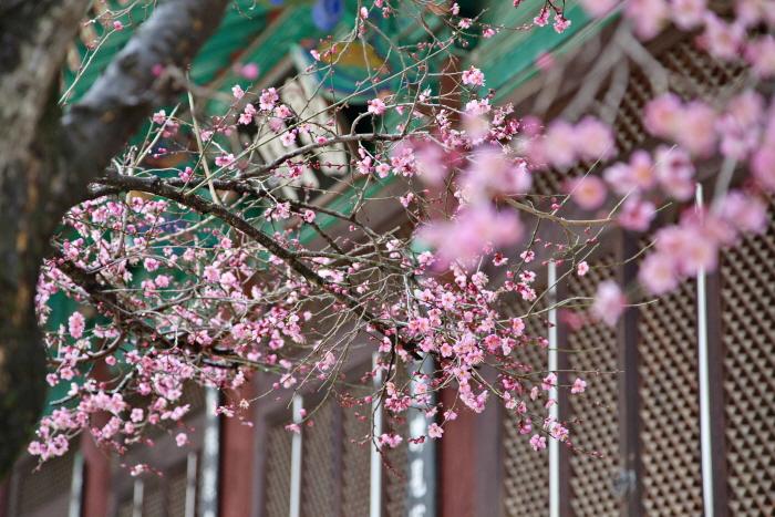 봄의 시작을 알리는 꽃, 양산 통도사 홍매화가 피어나기 시작했다