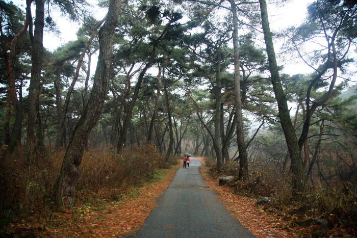 봉곡사 소나무 숲길
