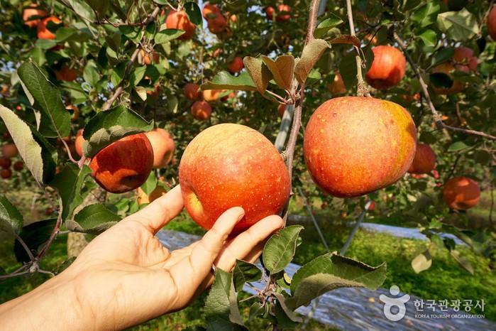 어느 사과를 딸지 고르는 손길