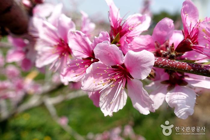 왕버들과 복사꽃, 봄날에는 꽃길만 걷자! 반곡지 사진