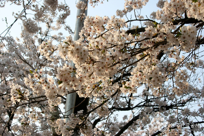 永登浦汝矣島春の花祭り(영등포 여의도 봄꽃축제)