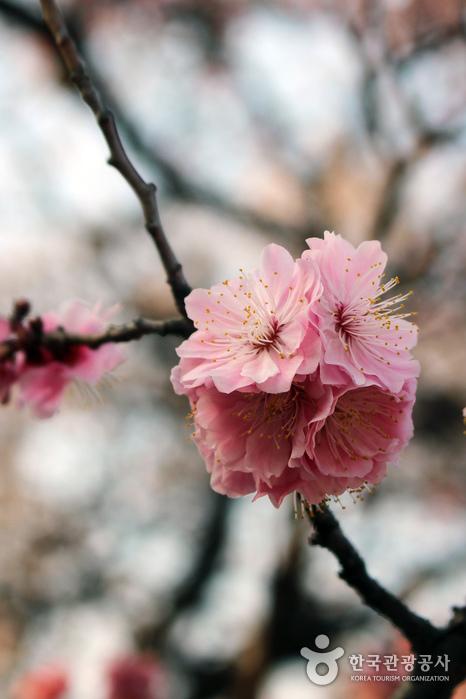 겹겹의 꽃잎으로 이뤄진 만첩홍매