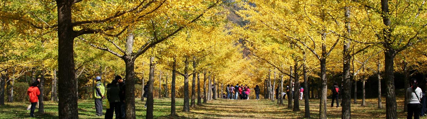 신비로운 은행나무 숲 일렁이는 산골마을의 가을