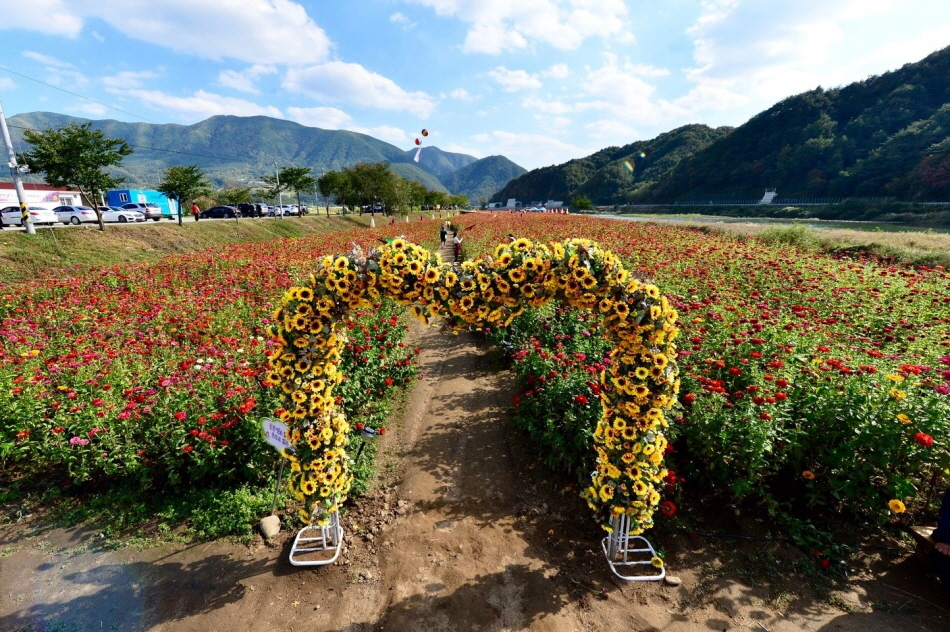9월 21일부터 30일까지 평창강 둔치에서 열리는 평창백일홍축제