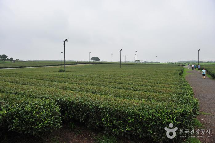 Teegarten Seogwang (제주 서광다원)