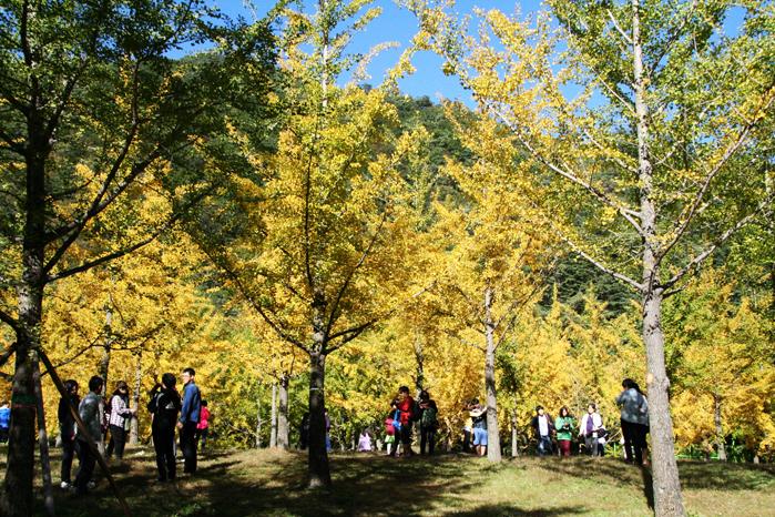 노란 물결 파도치는 홍천 내면 은행나무 숲 2