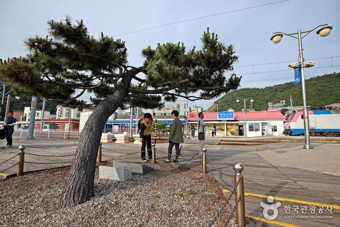 정동진역과 모래시계 소나무