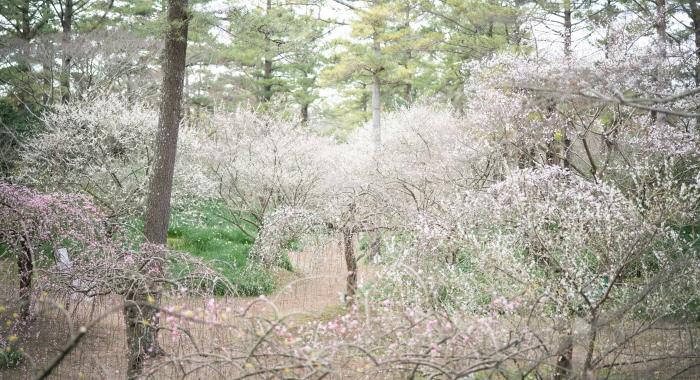 翰林公園梅花祭り(한림공원 매화축제)