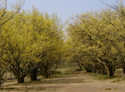 Фестиваль цветения кизила в Ичхоне (이천 백사 산수유꽃축제)